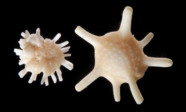 foraminifères de Odlot