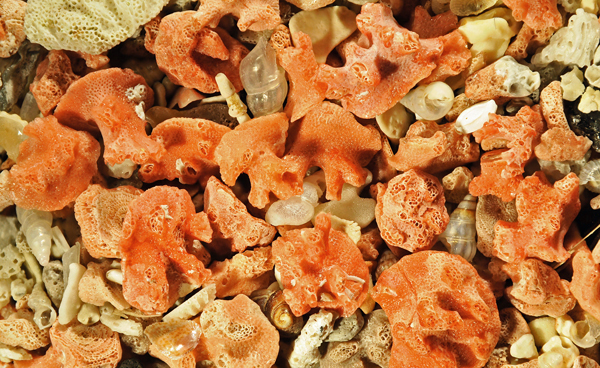 Miniacina miniacéa d'une plage de Sardaigne.