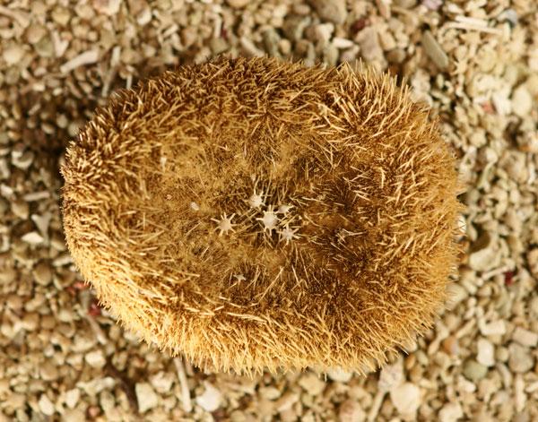 Sable, oursins et foraminifères du genre Calcarina